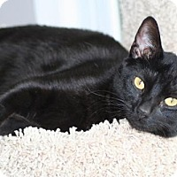 Domestic Shorthair Cat for adoption in Herndon, Virginia - Salem