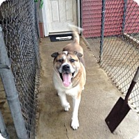 Adopt A Pet :: Shebaz (needs foster home) - Toms River, NJ