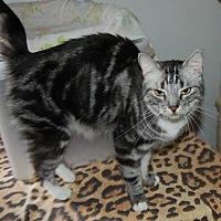 Domestic Shorthair Cat for adoption in Brainardsville, New York - Dharma