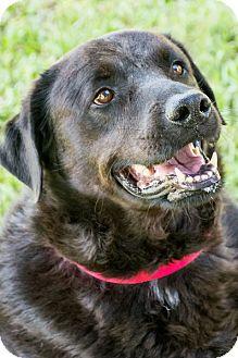 Labrador Retriever Dog for adoption in Miami, Florida - Baxter