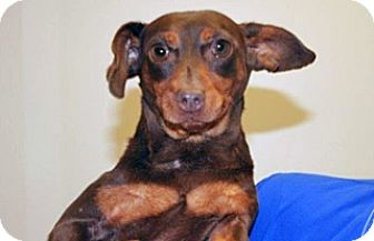 Dachshund Mix Dog for adoption in Wildomar, California - Rosa