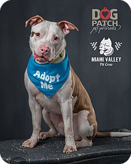 Pit Bull Terrier Mix Dog for adoption in Dayton, Ohio - Elliot