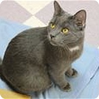 Domestic Shorthair Cat for adoption in Raleigh, North Carolina - Hero