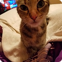 Domestic Shorthair Cat for adoption in Nashville, Tennessee - Lessie