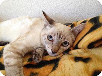 Siamese Cat for adoption in Walnut Creek, California - Tesla