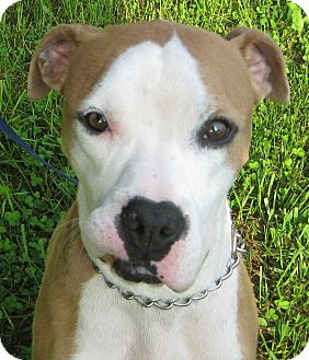 American Staffordshire Terrier Mix Dog for adoption in Hillsboro, Ohio - Jet