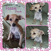 Adopt A Pet :: Fossie in CT - Manchester, CT