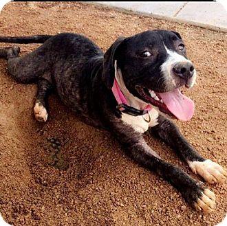 Labrador Retriever/American Bulldog Mix Puppy for adoption in Westminster, Colorado - Molly - Foster Home Needed