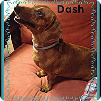 Adopt A Pet :: Dash - Green Cove Springs, FL