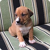 Adopt A Pet :: Ripley's Pup Kaylee - Chantilly, VA