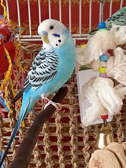Budgie for adoption in St. Louis, Missouri - Petey & Tweetie