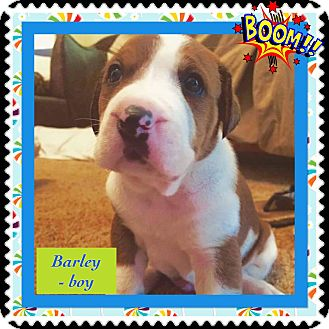 Boxer Mix Puppy for adoption in siler city, North Carolina - Bartley