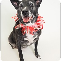 Labrador Retriever/Australian Cattle Dog Mix Dog for adoption in Phoenix, Arizona - Hope