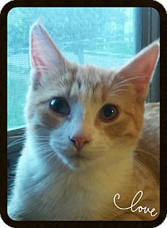 Domestic Shorthair Cat for adoption in Owatonna, Minnesota - Marlin