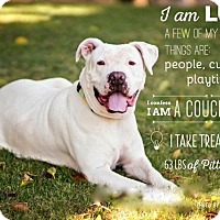American Pit Bull Terrier Dog for adoption in Scottsdale, Arizona - Lucy Lou