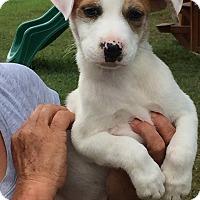 Adopt A Pet :: Sugar - Beaumont, TX