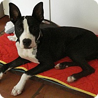 Boston Terrier/Great Dane Mix Puppy for adoption in Augusta, Maine - A - SOPHIE