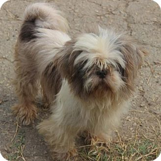 Shih Tzu Dog for adoption in Potomac, Maryland - Chanel- No Longer Accepting Applications