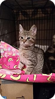 Domestic Shorthair Kitten for adoption in Baltimore, Maryland - .Bluey
