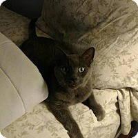Adopt A Pet :: zz 'Smokey Joe' courtesy listing - Cincinnati, OH