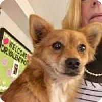 Chihuahua Mix Dog for adoption in Alpharetta, Georgia - Persimmon