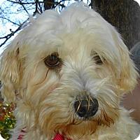 Havanese Dog for adoption in St Louis, Missouri - Heidi