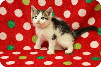 Domestic Shorthair Kitten for adoption in Yucaipa, California - Harvest