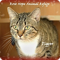 Adopt A Pet :: Tigger (Female Cat) - Waterbury, CT