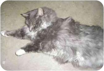Domestic Longhair Cat for adoption in Strathmore, Alberta - Parker
