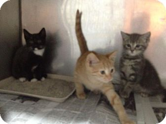 American Shorthair Kitten for adoption in Lancaster, Virginia - Kittens!!