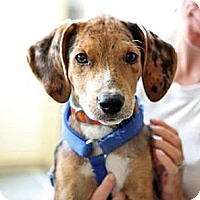 Adopt A Pet :: Snickers - Richmond, VA