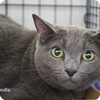 Adopt A Pet :: Noodle - Merrifield, VA