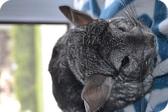 Chinchilla for adoption in Patchogue, New York - Bella