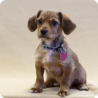 Adopt A Pet :: SCAMP - Ile-Perrot, QC