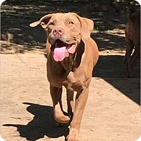 Adopt A Pet :: Chessie - Van Nuys, CA