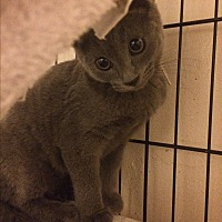Russian Blue Kitten for adoption in Sunny Isles Beach, Florida - Deja
