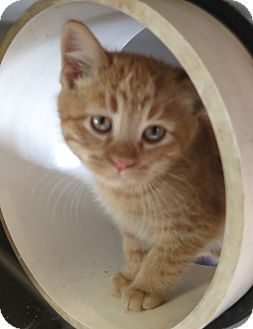 Domestic Shorthair Kitten for adoption in Geneseo, Illinois - Skater