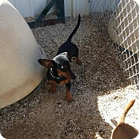 Adopt A Pet :: BILLY - Lubbock, TX
