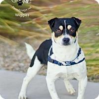 Adopt A Pet :: WIGGLES - Fountain Hills, AZ