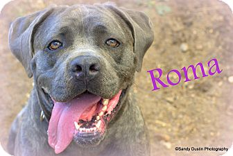 Mastiff Mix Dog for adoption in Manchester, New Hampshire - Roma