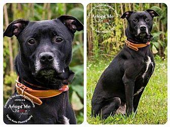 Labrador Retriever Mix Dog for adoption in Batavia, Ohio - Cole