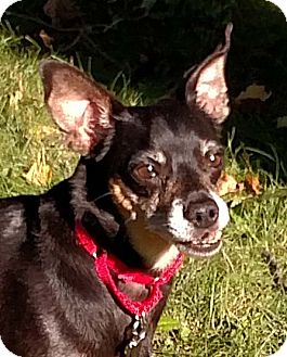 Chihuahua/Miniature Pinscher Mix Dog for adoption in Greenfield, Indiana - Ziggy