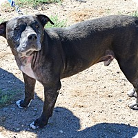 Adopt A Pet :: Pete - Gardnerville, NV