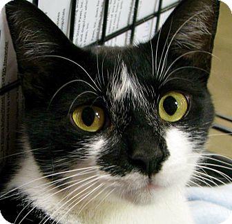 Domestic Shorthair Cat for adoption in McDonough, Georgia - Daisy