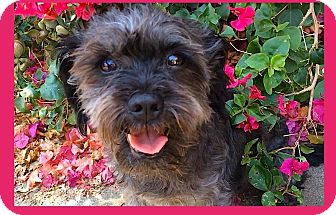 Lhasa Apso Mix Dog for adoption in Pasadena, California - PRECIOUS *Penny**Video*