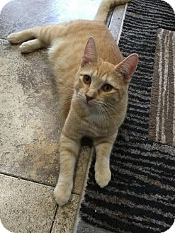 Domestic Shorthair Cat for adoption in Land O Lakes, Florida - Savannah