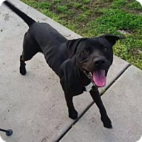 Pit Bull Terrier/Labrador Retriever Mix Dog for adoption in Broken Arrow, Oklahoma - Bruce