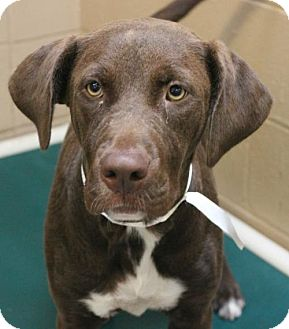 Labrador Retriever Mix Dog for adoption in Hilton Head, South Carolina - Jackette