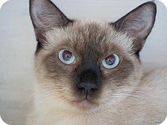 Siamese Cat for adoption in Los Angeles, California - Indigo