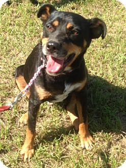 Rottweiler Mix Dog for adoption in Northport, Alabama - Ryder